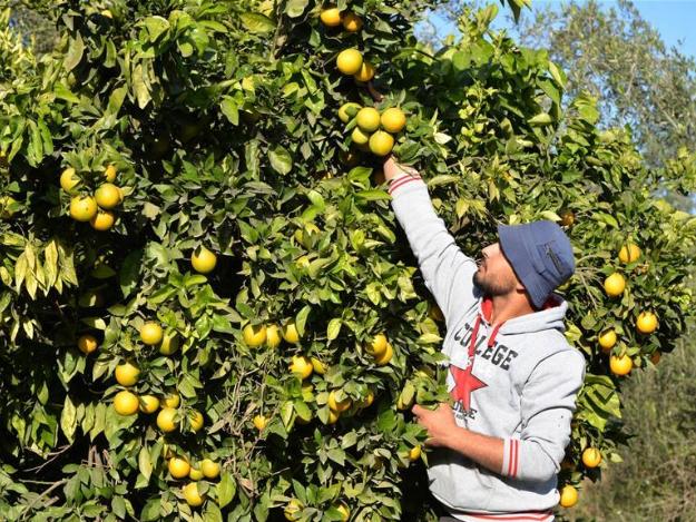 Palestinian farmers pick oranges at farm in northern Gaza Strip town of Beit Lahia