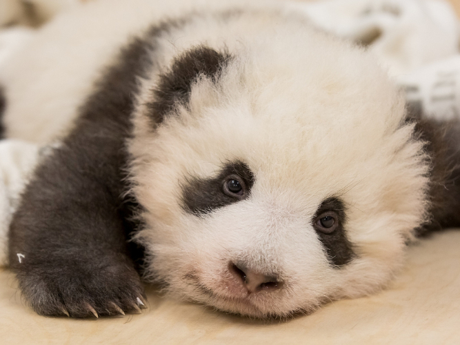 Berlin zoo releases new photos of panda twins