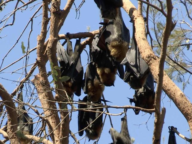 Australian bat species affected by climate change