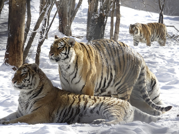 China launches wildlife rescue center to better protect tigers, leopards
