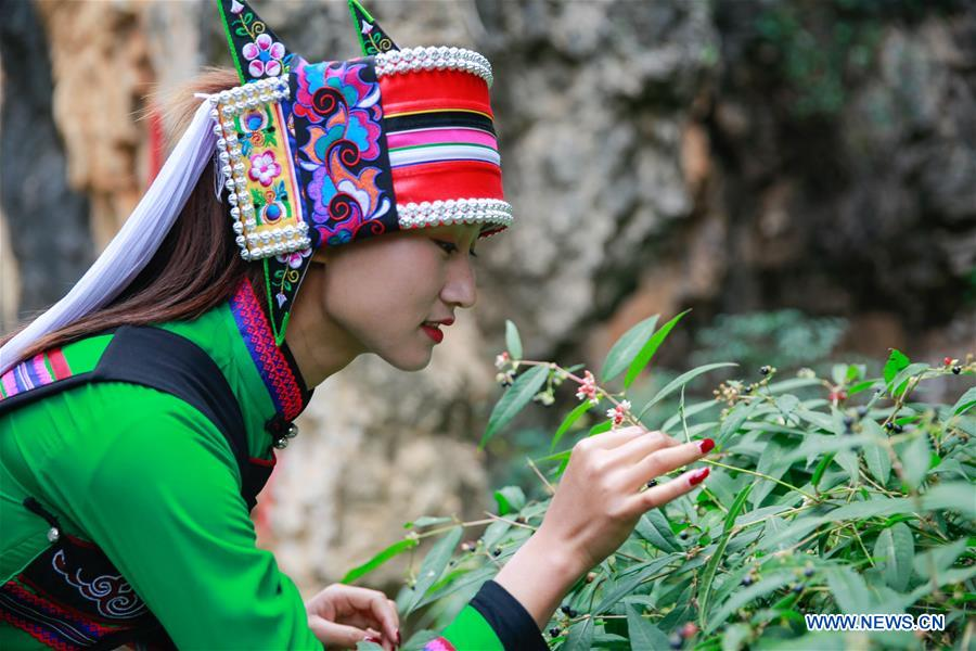 Local government makes efforts to develop panax notoginseng industry in Yunnan