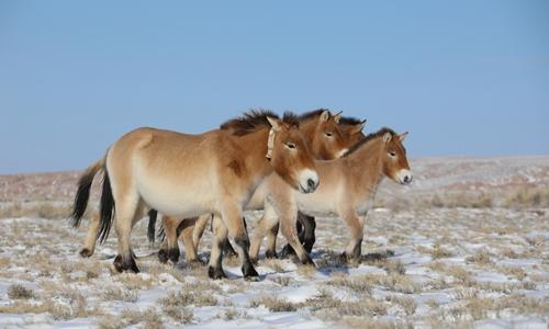 Queen wild horse wears high-tech satellite tracing collar