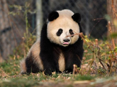 Giant pandas live at research base in NW China