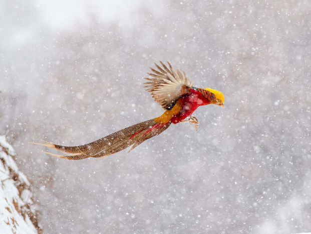 Golden pheasants' beautiful snow dance