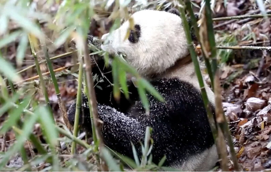 Giant pandas to be released into the wild for the first time outside Sichuan Province