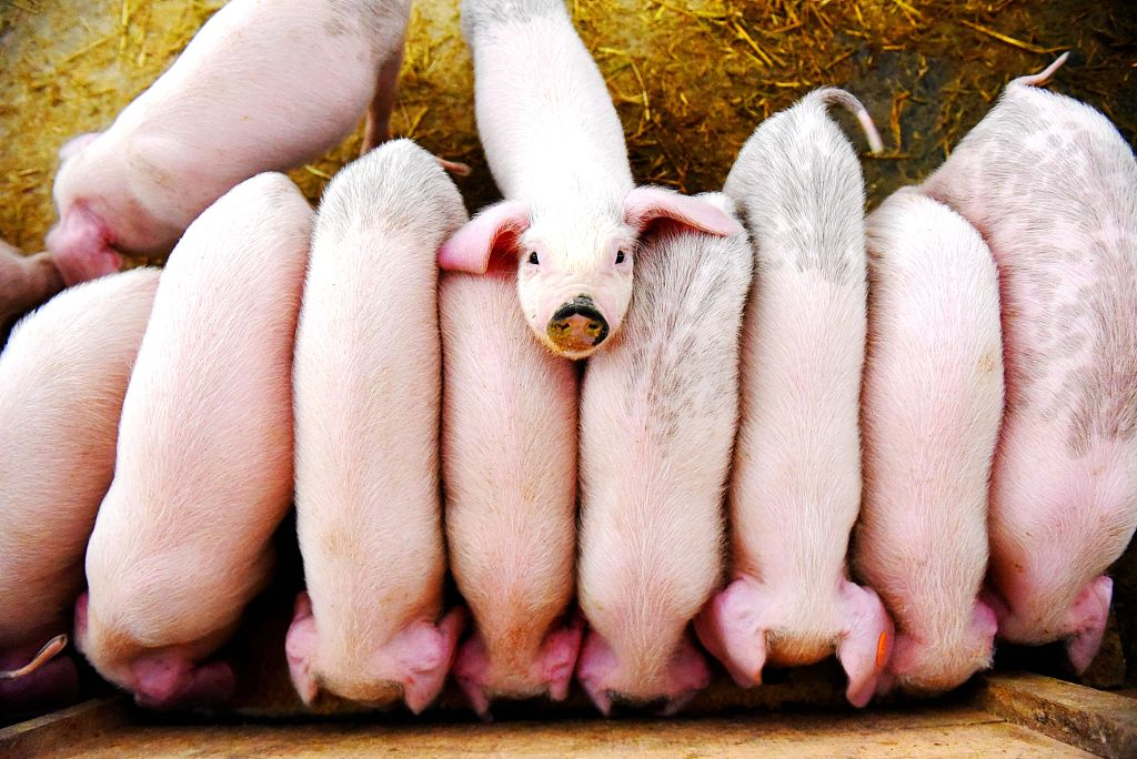 China rolls out three-year action plan to restore hog production