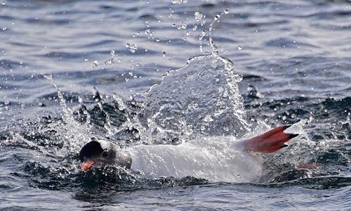 Tourists head to Antarctica to swim among penguins