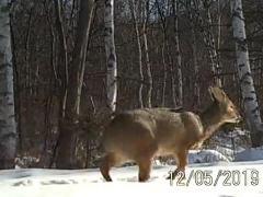 Endangered deer spotted in NE China