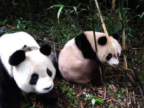 First pandas to be released into wild outside Sichuan