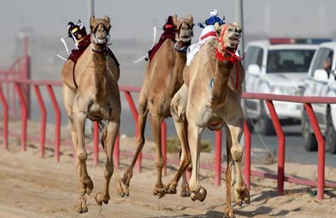 Wild camels return to wild in northwest China