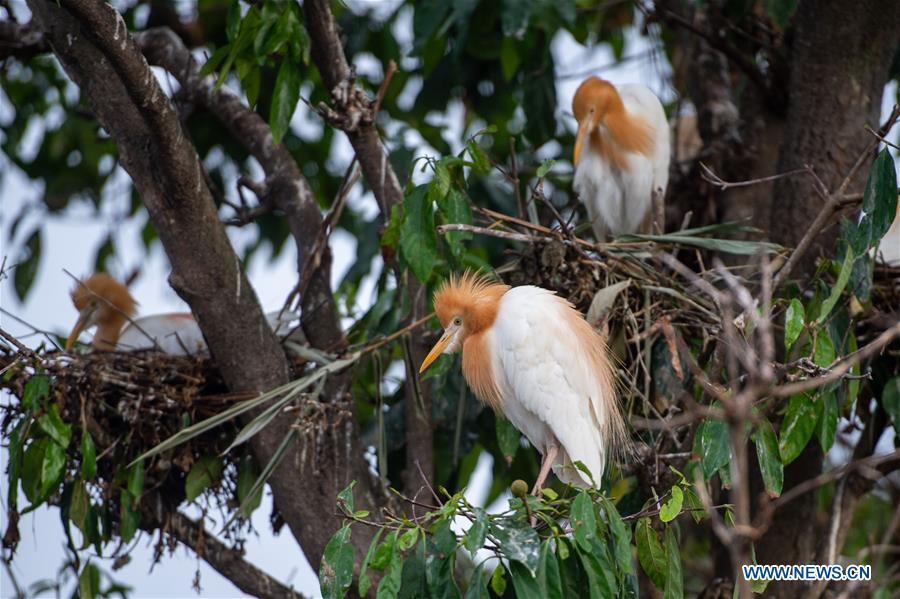 Heron birds seen in Gianyar district of Bali, Indonesia