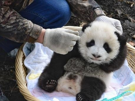 Panda mother returns to center after mating in wild