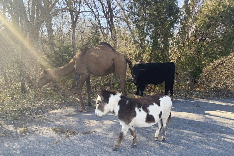 Wandering camel, cow, donkey to be featured in live Nativity