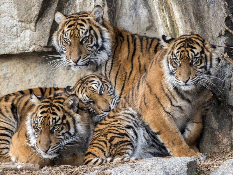 sumatran tigers (ap).jpeg