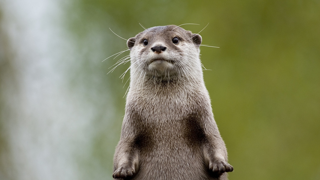 Across China: Otters reflect ecological progress in Asia's water tower