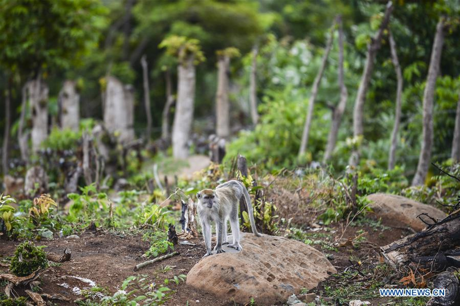 Long tailed macaque find food in Aceh Besar region, Indonesia