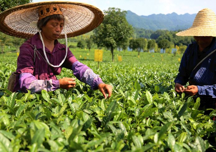 SW China province sees robust growth in tea export