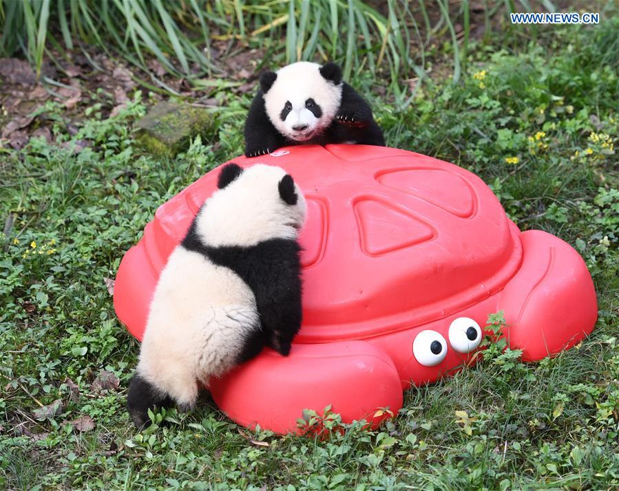 Zoo held half-year-old birthday celebration for four panda cubs in China's Chongqing