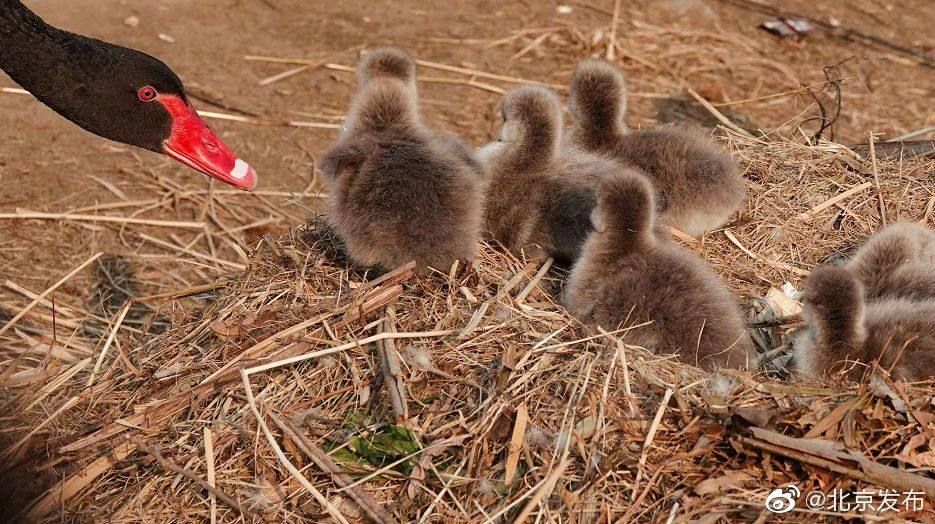 Old Summer Palace welcomes six new black baby swans!