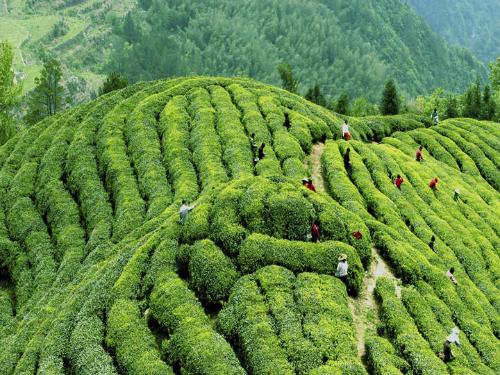 Taizhou to host intl tea culture expo