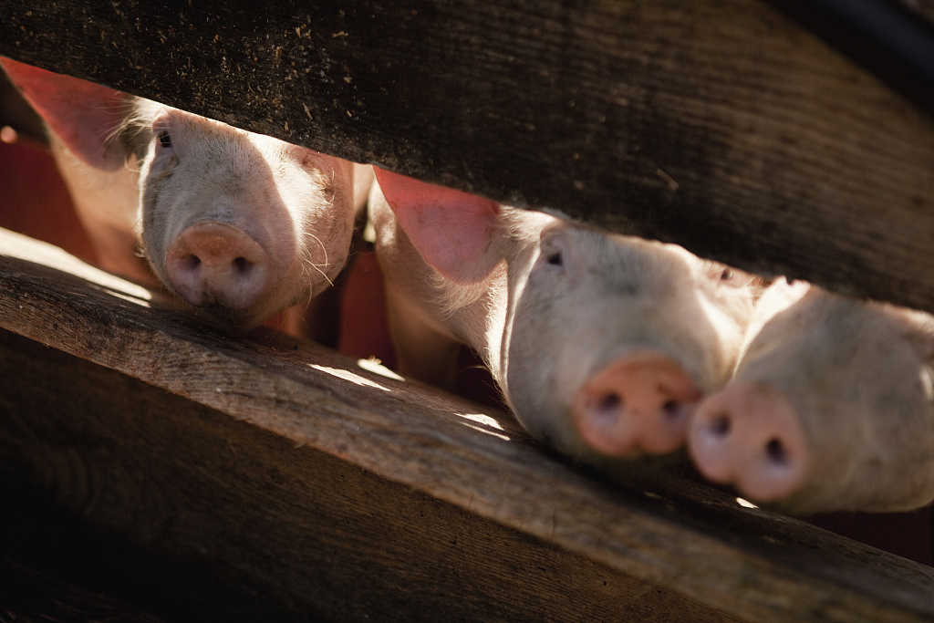 China's major hog supplier clamps down on 'pig speculators'