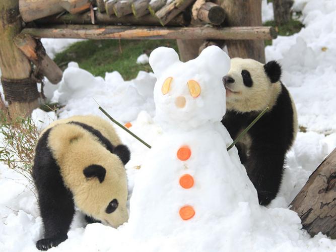Giant pandas enjoy snow in Chengdu