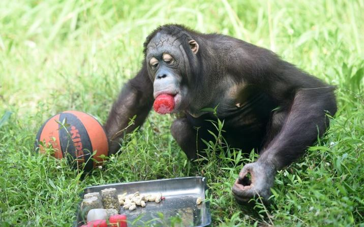 Study finds chimpanzees more likely to share tools when task is complex