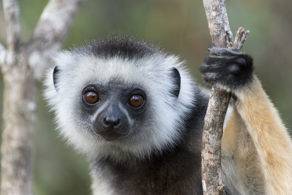 Climate change may be death knell for Madagascar lemurs