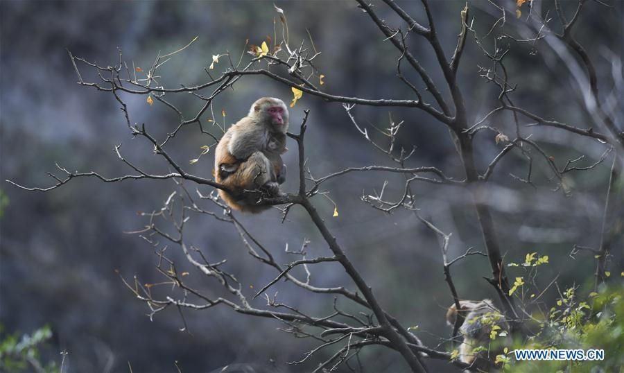 Wild macaques at Small Three Gorges scenic area in Wushan County, SW China's Chongqing