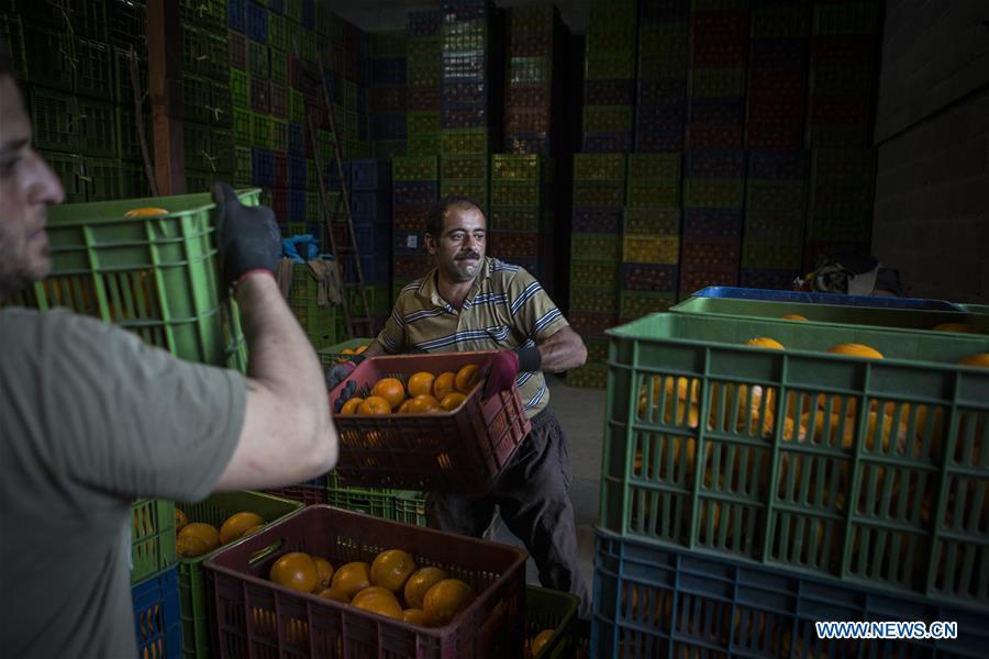 Iranian farmers harvest oranges in Mazandaran province