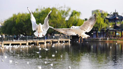 Over 40,000 black-headed gulls spend winter in SW China