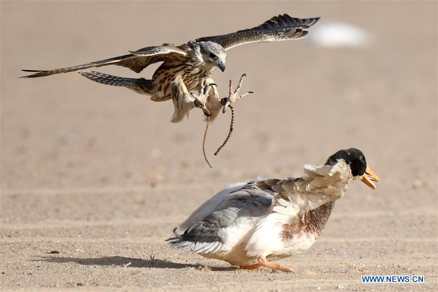 In pics: falcon training show held in Kuwait