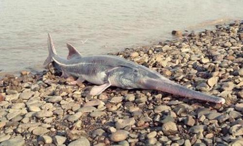 Netizens saddened by extinction of Chinese paddlefish, call for biodiversity conservation