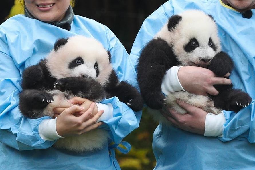 Two giant pandas born in Belgium win 'Panda Cub of the Year' Gold Award