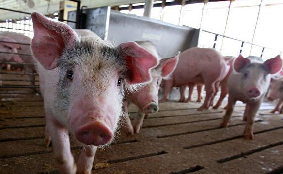China to continue intensified supervision of African swine fever