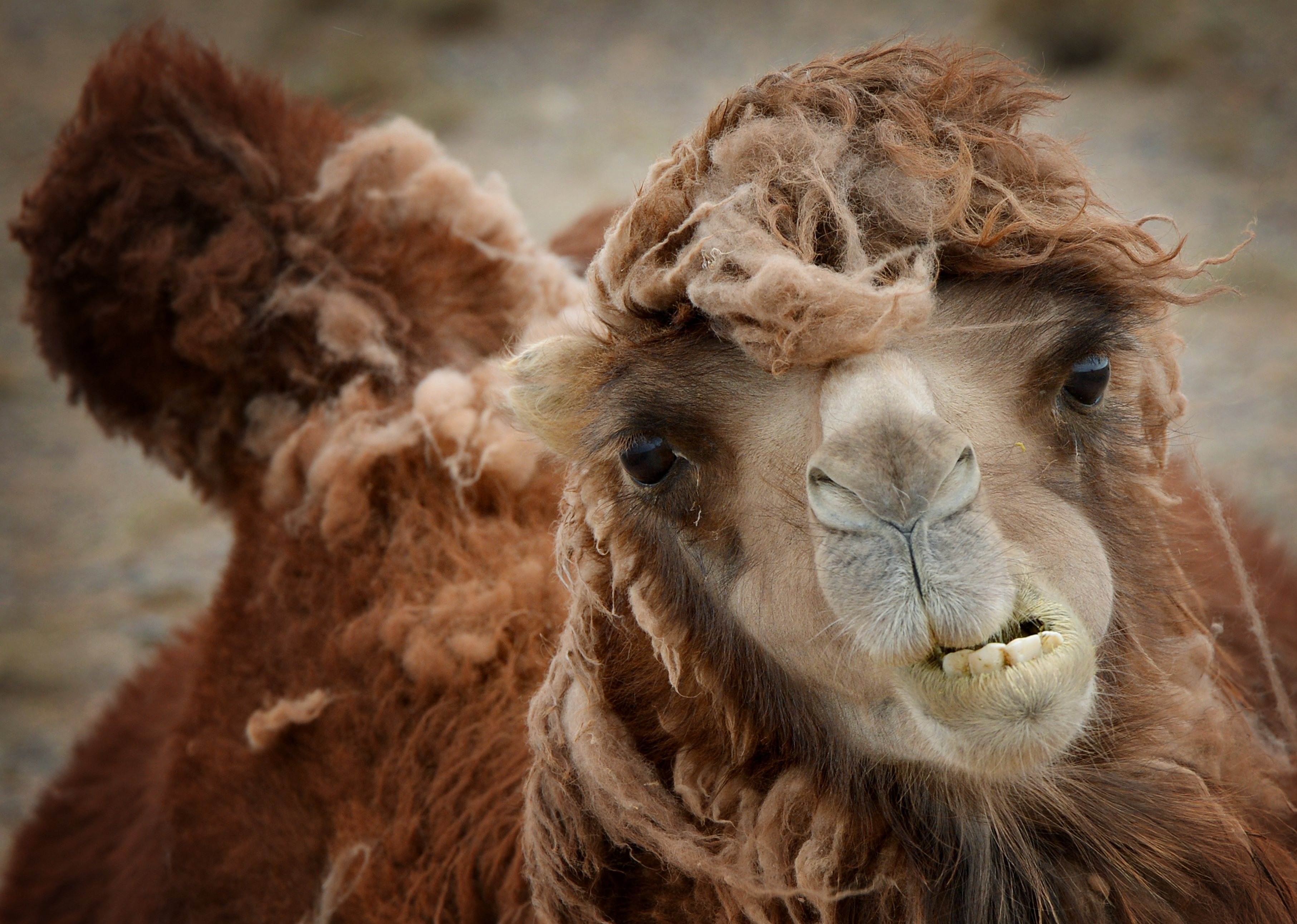 Mongolia to hold camel festival to promote tourism