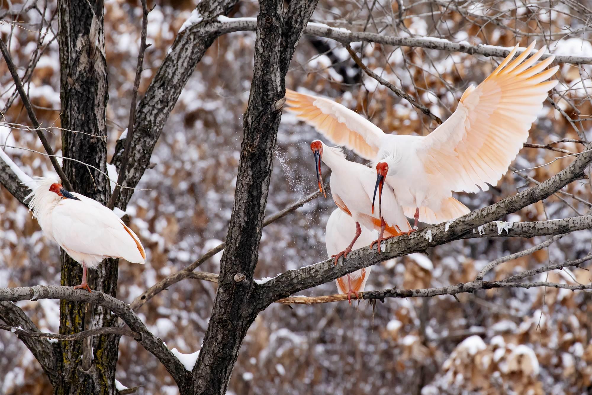 Rare birds enjoy first snowfall of 2020 in NW China