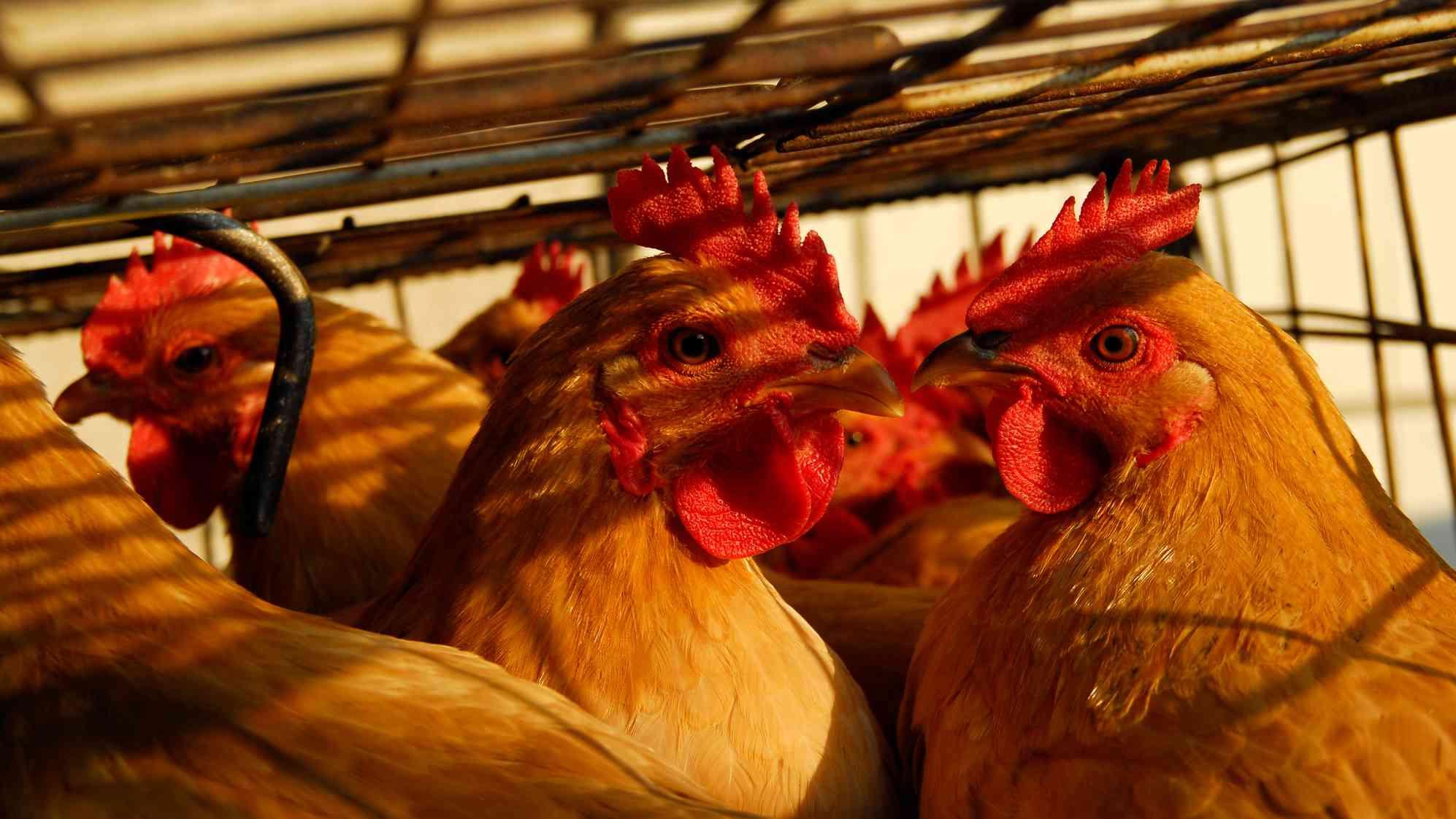 Xinjiang reports H5N6 bird flu case