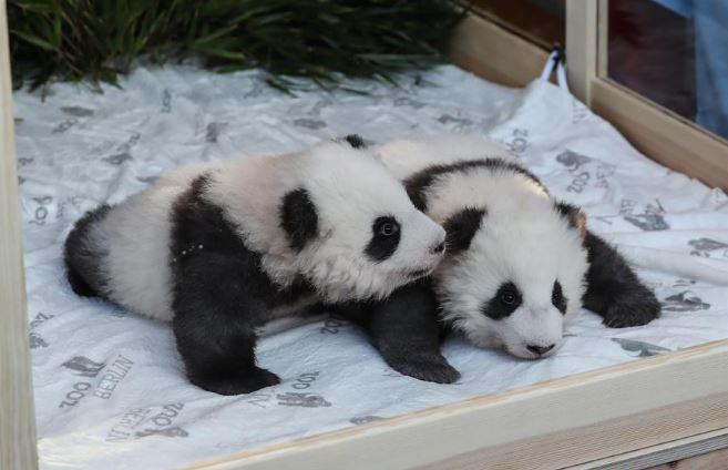 Panda cubs at Berlin Zoo explore their surroundings