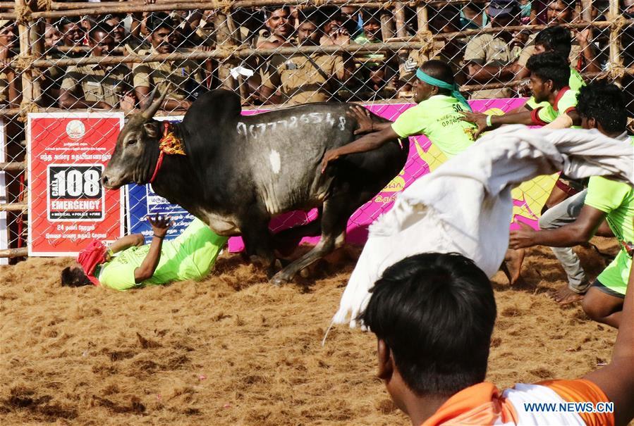 Annual bull taming event 'Jallikattu' held in Madurai, India
