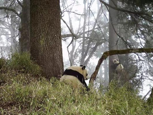 Two wild giant pandas captured on camera in SW China