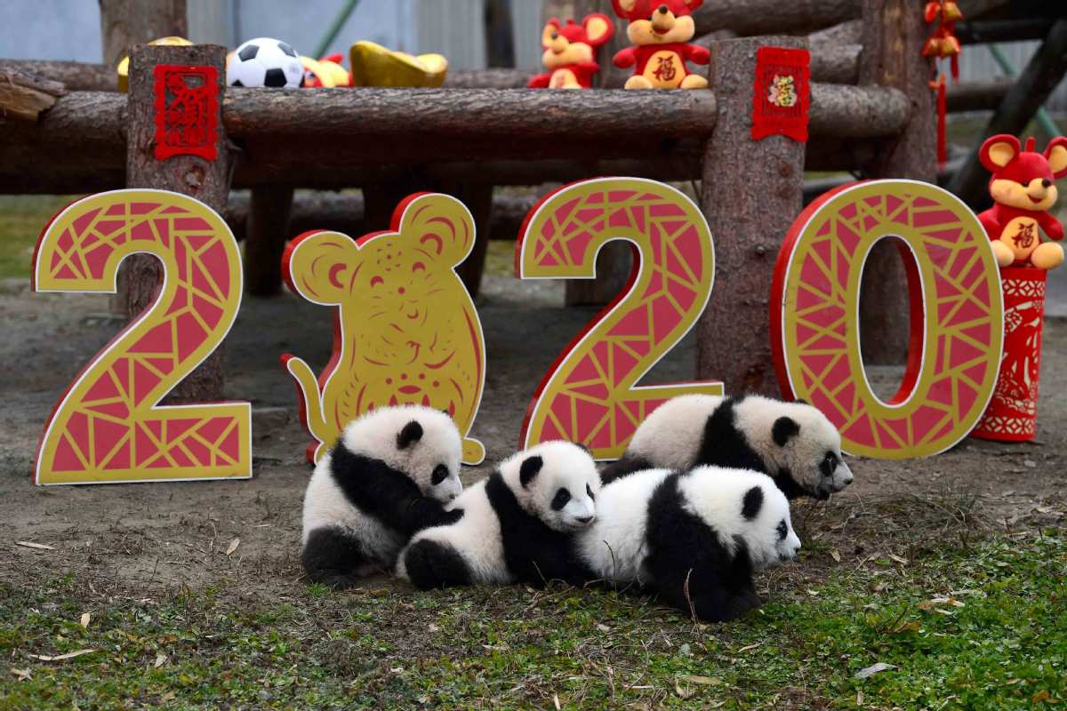 Panda cubs make debut for Chinese New Year