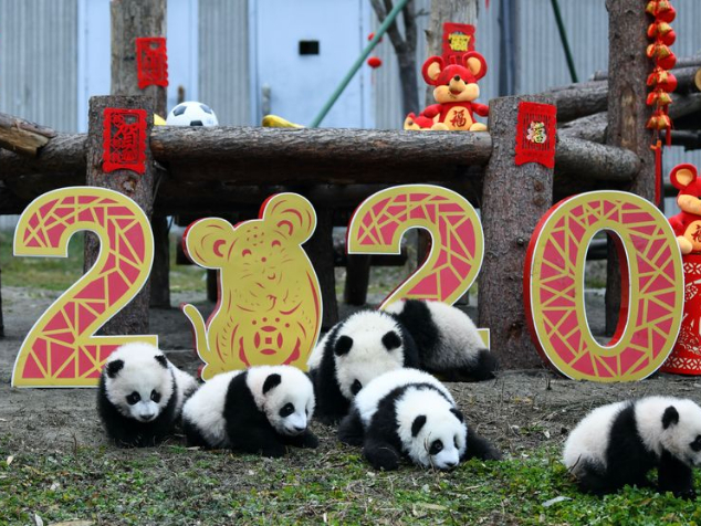 20 panda cubs send Chinese New Year greetings in SW China