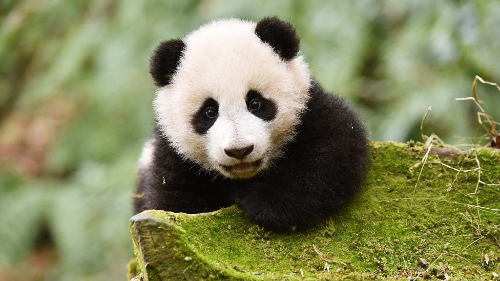 China breeds 32 giant panda cubs in 2019