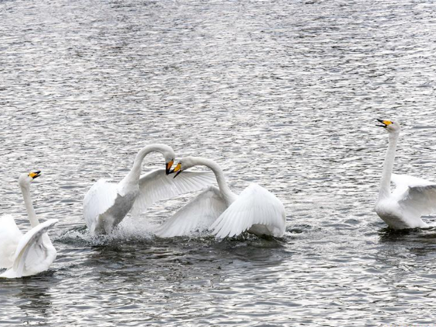 Swans fly to Peacock River in Xinjiang's Korla to live through winter