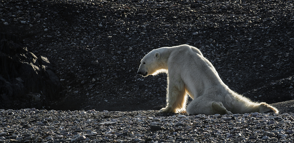 Climate change in the Arctic threatens local wildlife