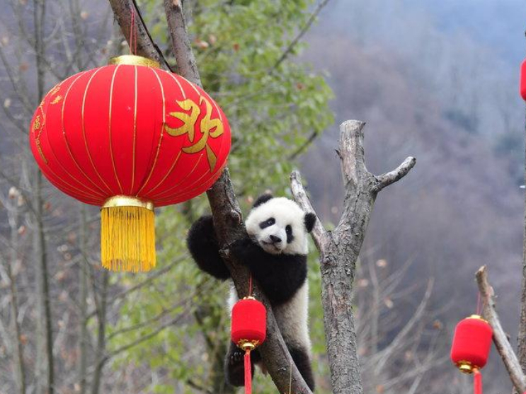Panda babies send Chinese New Year greetings