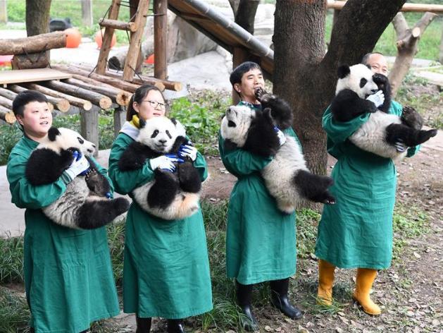Panda cubs pose for photos for Chinese New Year greeting at Chongqing Zoo
