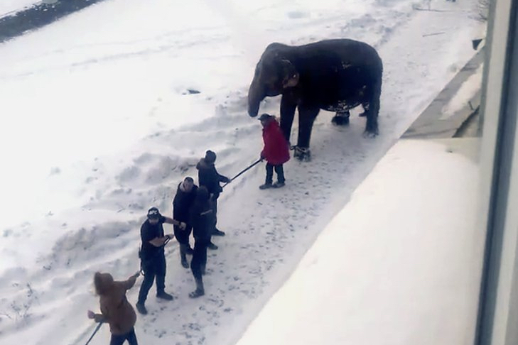 Two elephants escape from circus in Russia