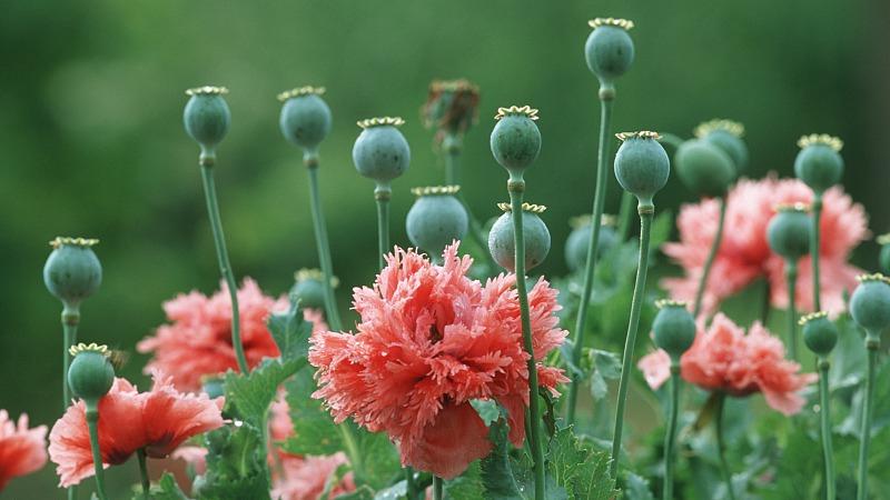 Opium poppy cultivation in Myanmar declines in 2019